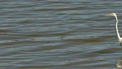 White egret bird with long neck walking at slow but steady pace in shallow water
