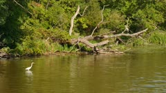 White egret is in the water while great blue heron is standing on bent dead tree