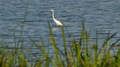 One minute footage of white egret type of heron in North America in water