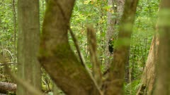 One minute sequence of pileated woodpecker thriving in Canadian forest 1/3