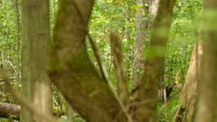 One minute sequence of pileated woodpecker thriving in Canadian forest 2/3