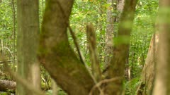 One minute sequence of pileated woodpecker thriving in Canadian forest 3/3