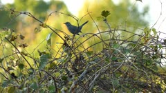 Grey catbird moving tail up and down while perched with blurry background