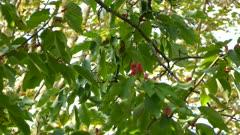 Striking tiny blue headed vireo bird of North America in pretty magnolia tree