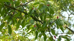 Quick moving vireo bird hopping within thick exotic green tree with pink flowers