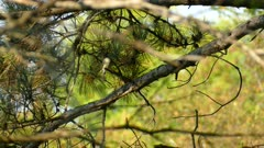 Tiny flycatcher or phoebe type bird perched and twisting around in pine tree