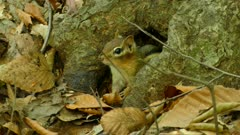 Macro close up of chipmunk peeking out of shelter made by tree roots in forest