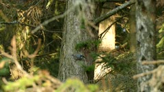 Close shot and wide view of forest with a white breasted nuthatch thriving