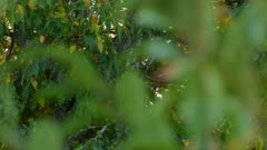 Partially hiding blue jay bird behind green blurry fresh broad-leaves