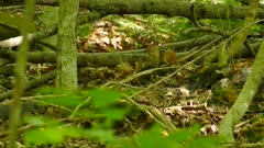 Two shots of cute chipmunk in sunny but covered dense forest in Canada