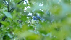 Blue jay seen thru blurry leaves pecking at apple in orchard tree in Canada