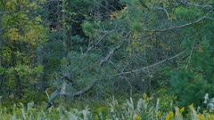 Awesome tracking shot of blue jay flying and landing along forest line