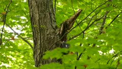 Partially hidden in blurry green leaves shot of pileated woodpecker