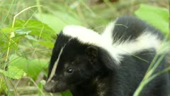Closeup of a curious but calm skunk using its sense of smell to assess area