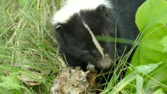 Macro close up shot of skunk chewing on unknown prey deep in grass