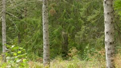 Dense mixed forest of pine and deciduous trees in late North American summer