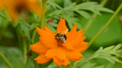 Beautiful orange flower is food for bumblebee viewed on green background