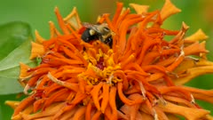 Striking exotic orange flower with bumblebee foraging within it