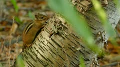 Cute tiny chipmunk forest standing on beautiful birch tree in soft light