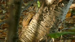 Lovely chipmunk breathing rapidly from it's tiny body while resting in the sun