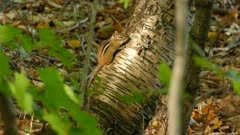 Chipmunk in the forest taking an end-of-day break in light sunshine near ground