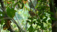 Pretty ovenbird on a branch with blurry background suddenly takes off