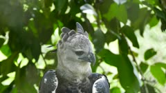 Harpy Eagle in a tree