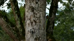 Wood creeper climbing on side of tree in deep Costa Rican forest