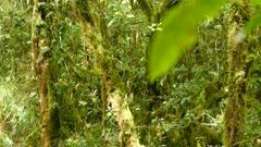 Bright moss covered forest is home to endemic bird in Costa Rica