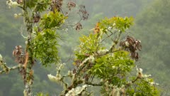 Incredible long tailed silky flycatcher bird landing on tree in Costa Rica