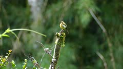 Sharp shot of tufted flycatcher perched atop single dead branch