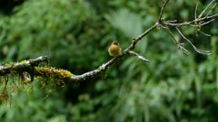 Perfect shot of exotic tufted flycatcher in Costa Rica jungle