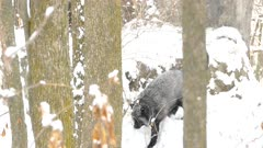 Beautiful silver fox jumping on rock covered in snow in North American winter