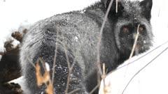 Closeup of silver fox turning head back towards viewer before walking away