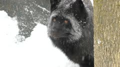 Close view of the face of a beautiful silver fox canine animal under snowfall