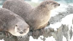 Closeup of otter standing atop a rock with light snow accumulations