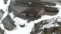 Crisp detailed shot of otter climbing a rock covered in snow during winter