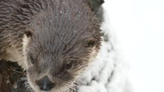 Extreme closeup of otter's face during winter with snow in the background