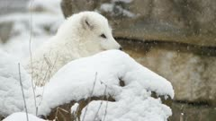 Snow flakes falling and accumulating on fur of arctic fox standing behind stone