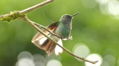 Tiny feather shapes visible in macro shot of a hummingbird in Panama