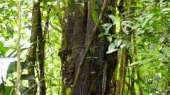 Duo of pale billed woodpeckers on side of tree in lush Costa Rica forest