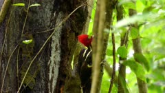 Pale billed woodpecker bird hopping up the side of a branch in jungle