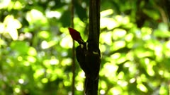 Silhouette of large pale billed woodpecker hanging from liana in jungle