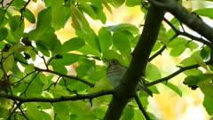 Thrush bird under green tree canopy in Canadian broadleaf forest
