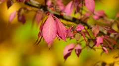Explosion of colors seen in bright pink leaf on yellow fall leaf background