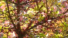 Winterberry plant tree in superb vivid colors on sunny autumn day