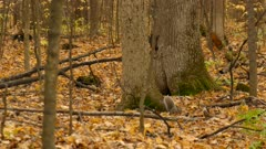 Three squirrels in busy fall forest of Carolinian forest with leaf carpet