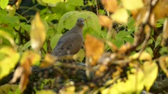 Dull colored mourning dove perched in striking colored fall forest