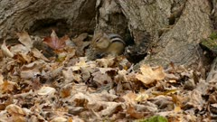 Erratic but cute chipmunk does what it needs to do in order to survive