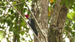 Crimson-crested woodpecker in Panama hops and flies away